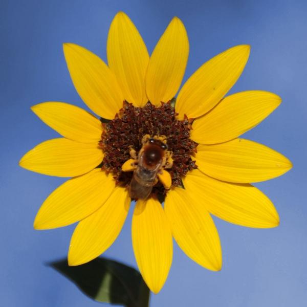 flower-bee-600.jpg